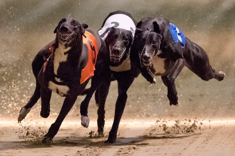 Greyhounds live betting online loot drop vulcan betting
